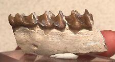 Oreodont Fossil J2314 Fossil Mineral Specimen