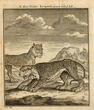1750 Illustration An East Indian Leopard Drawn from Life An impressive 262 Print