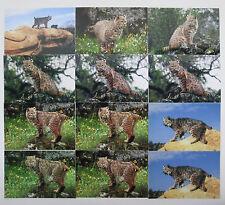 Mixed Lot of 12 Bobcat Photos Wild Predator Cats 4 x 6 Color Photographs