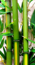 1 Tropical Island 'Yellow Groove' Cold Hardy Bamboo 12 inch Rhizome Lg Privacy