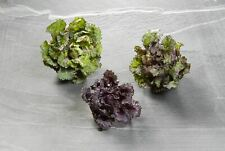 Vegetables - Flower Sprout - Kalettes - 100 Seed - Large Pack