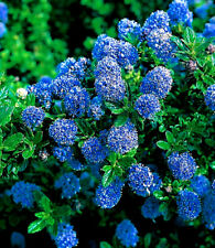 Californian lilac / Ceanothus 'Blue Mound' In 2L Pot, Bright Blue Flowers