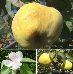 hardy fruit tree, Quince, Cydonia oblonga, edible plant, ornamental, 25cm tall