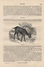 Steinbock Alpensteinbock Capra ibex  HOLZSTICH von 1866