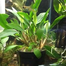 Cryptocoryne Mioya Potted B2G1 Freshwater Live Aquarium Plant Decorations Tank