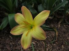 Rain Lily, Zephyranthes King's Ransome, 1 bulb, NEW, habranthus