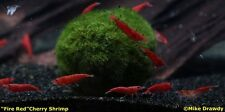 "(4) Marimo Moss Balls Ball 1.5"" Shrimp Java Fern Tropical Fish Plant FREE S&H!"