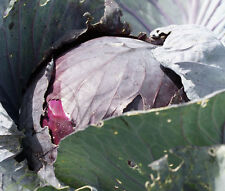 CABBAGE RED ACRE Brassica Oleracea - 500 Bulk Seeds