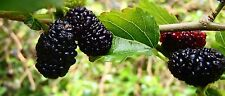 Black Mulberry- Morus Nigra - 50 Seeds - Handsome Tree With Superb Fruit