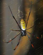 Orb Weaver Spider Nephila inaurata live pet bug x10