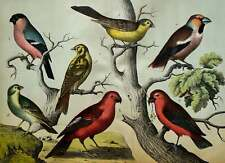 1870 Antique lithograph of SONGBIRDS. ORNITHOLOGY. BIRDS, different species.