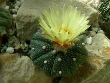Astrophytum asterias - The Sand Dollar Cactus - 10 Seeds