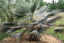"Brahea armata ""Blue Hesper Palm"" Stunning Blue Leaves Hardy to 10F! 10 seeds"