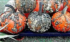 Warty Goblin Pumpkin Seeds!  Combined S/H! SEE MY STORE FOR RARE SEEDS!