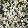Feverfew tanecetum partnenon. Hardy flowering herb in 9cm pot