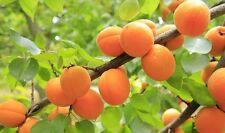 ☺3 graines d abricotier / prunus armeniaca