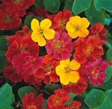 Flower - Kings Seeds - Pictorial Packet - Nasturtium - Jewel Mixed