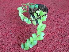 DISCHIDIA NUMMULAIRA HOYA HOME GARDEN DECOR HANGING PLANT
