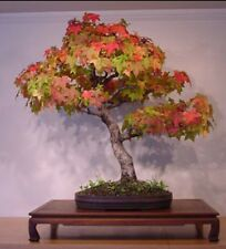 Formosan Sweet Gum, Beautiful autumn colours! Bonsai tree or garde tree hardy!