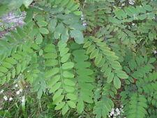 Black Locust Robinia pseudoacacia bonsai trees seeds outdoor