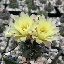 Gymnocalycium Andreae Cactus Cacti Succulent Real Live Plant