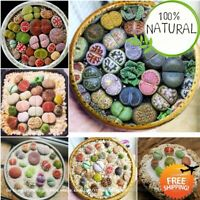 Beauty Mini Lithops Seeds Plants Bonsai Cactus Organic Mixed Garden 100pcs