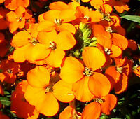 Limonium gmelinii Siberian Statice     500 seeds