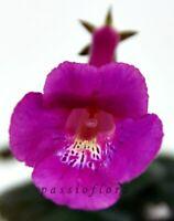 Mini Sinningia SRG's EVANGELINE tuber African Violet kin