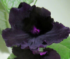 50+ Seeds (2020) from Streptocarpus x 'DS Gotika' Crossed with other Named Vars.