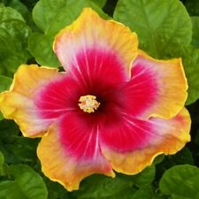 * Provocative * Rooted Tropical Exotic Hibiscus Plant*Ships In Pot*