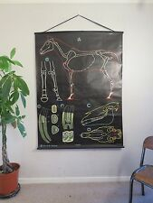 VINTAGE DR AUZOUX P SOUGY PULL DOWN SCHOOL WALL CHALK CHART OF A HORSE EQUINE