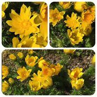 Adonisröschen Adonis vernalis alte Zauberpflanze Bienenpflanze Heilpflanze
