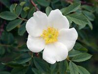 400 Samen Rosa corymbifera Laxa Veredlungsunterlage zur Rosenzucht