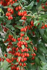 GOJI  baya medicinal  lycyum  barbarum  250 semillas seeds
