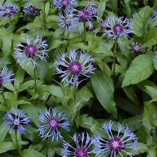 Cornflower- (Centaurea)- Montana- 25 Seeds- BOGO 50% off SALE