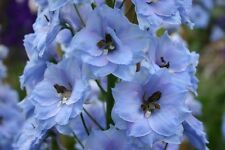 30 X  DELPHINIUM SEEDS ( BLUE JADE   )  PERENNIAL GROWS UP TO 4 FT  HIGH