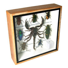Palamnaersus Scorpion Real Butterfly Insect Taxidermy Display Framed Box gpasy