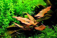 Dwarf Water Lily Bulb Nymphaea Stellata Rubra Live Aquarium Plants Buy2Get1Free*