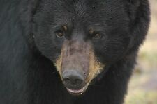 Black Bear Taxidermy Reference Photo Cd