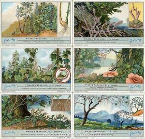 Chromo Liebig Sang. 1265 ITA Piante Parassite ANNO 1932