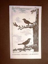 Bengali moscato e Senegali Incisione su rame del 1813 Buffon Uccello Ornitologia