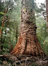 Giant Red Tingle  (Eucalyptus jacksonii) - 50 Seeds