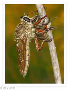 © ART - Assassin Bug Fly Eating A Bee Original Illustration Artist print by Di