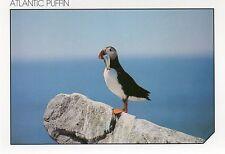 "PARROT-LIKE SEA BIRD,""ATLANTIC SEA PUFFIN"" HOLDING HIS FISH DINNER"