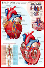 THE ANATOMY OF THE HUMAN HEART Medical Science Educational Wall Chart POSTER