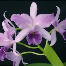 Cattleya Orchid Plant - Standard - Striking Lavender-Blue Flowers With Flare