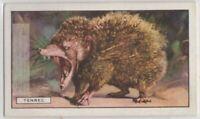 Tenrec Of Madagascar c80 Y/O Trade Ad Card