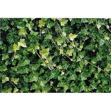 "Live Plant Baltic English Ivy 8 - Hardy Groundcover -1 3/4"" Pots Garden Deco New"