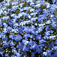Lobelia 'Cambridge Azul' - 3000 Semillas-Flor