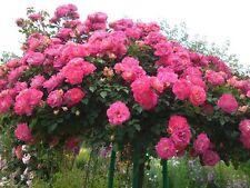 """20+ PINK """"TREE ROSE""""  Seeds    USA SELLER SHIPS FREE"""